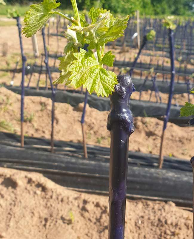 Paraffine-per-vivaismo-viticolo
